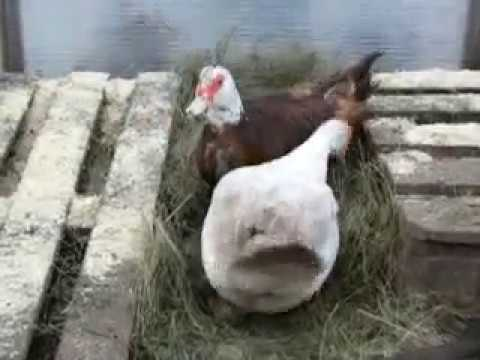 Когда утки начинают нести яйца: почему могут не нести