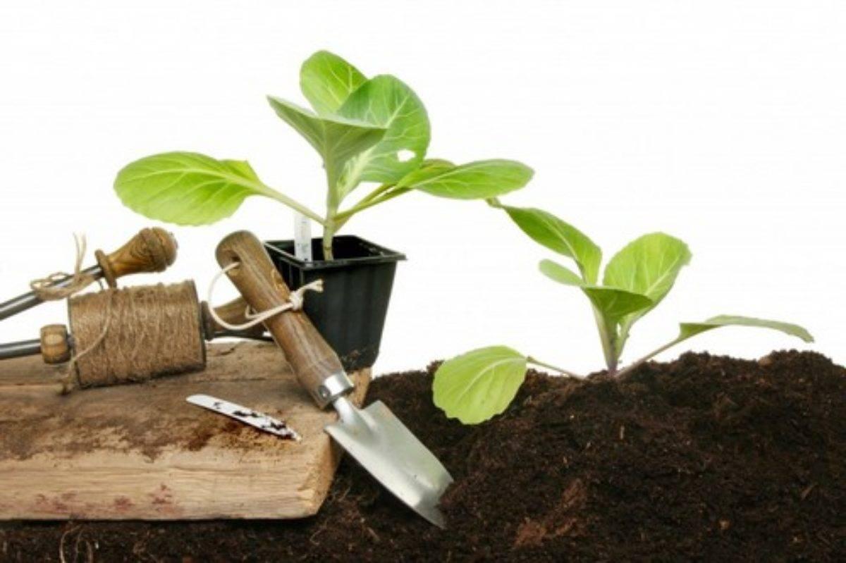 Как вырастить рассаду капусты? секреты выращивания рассады в домашних условиях