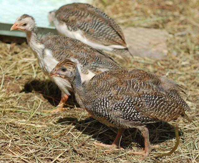 Цесарка бройлерная: описание и условия содержания птицы