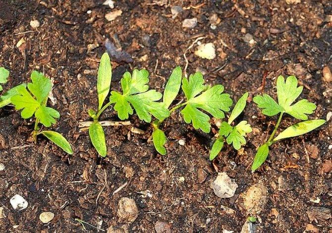 Когда сажают петрушку весной в открытый грунт: в какое время и как правильно сеять корневую зелень семенами, можно ли в мае, сроки заделывания в сибири, подмосковье русский фермер