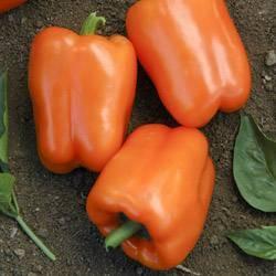 Необычный сорт с фиолетовыми плодами — перец «биг папа» и нюансы его выращивания