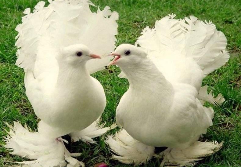 Родотиум для голубей: инструкция по применению