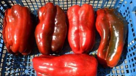 Перец зорька (сладкий): описание сорта, фото, отзывы и урожайность