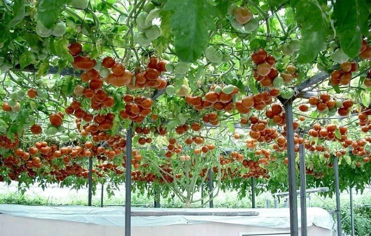 Томатное дерево спрут в открытом грунте: выращивание и уход, фото и видео