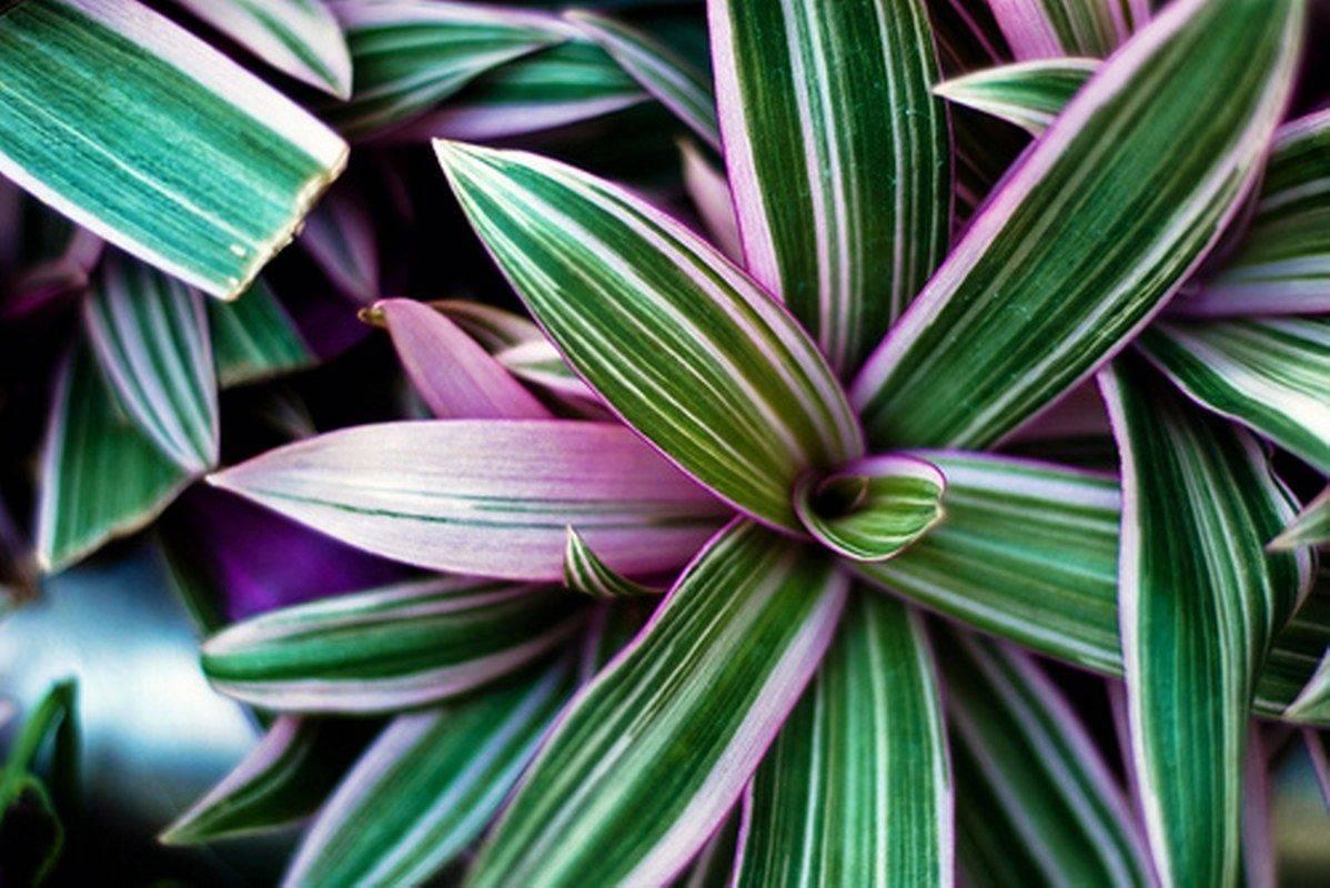 Цветок традесканция: виды, фото и многое другое