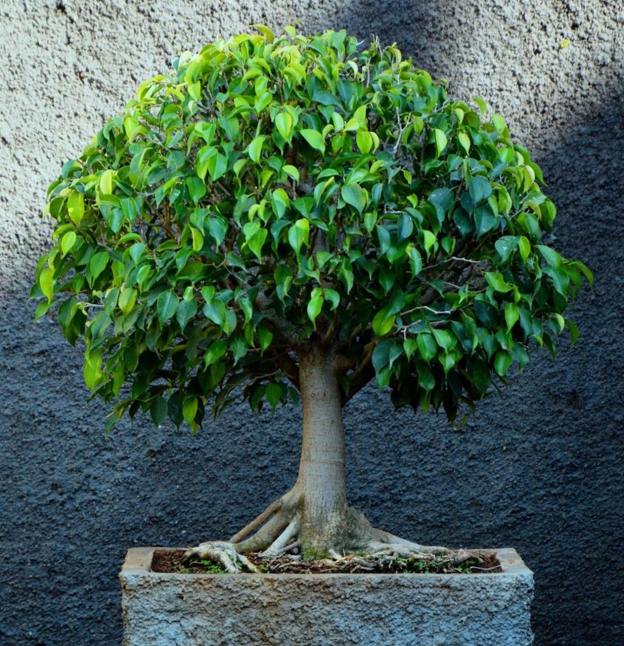5 советов для формирования пышной лиственной массы фикуса бенджамина