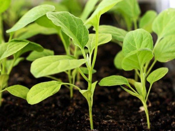 Описание баклажана король рынка - агрономы