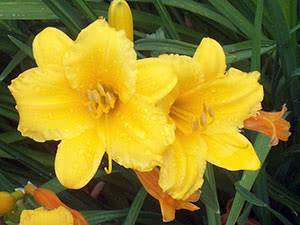 Лилии — выбор места и посадка в саду. фото — ботаничка.ru