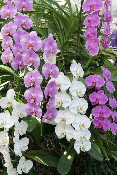 Королевские орхидеи — среда обитания, виды и выращивание