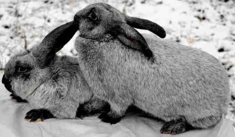 Кролики полтавское серебро: особенности породы, принципы содержания и разведения, достоинства и недостатки