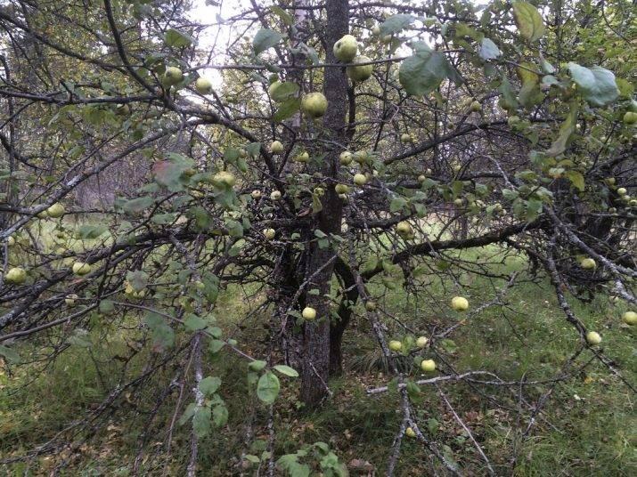 9550 лет живет самая старая ель на планете земля