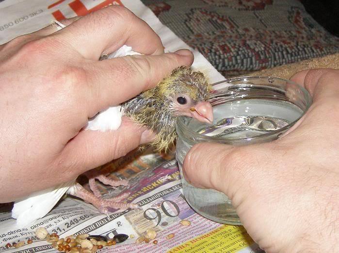 Чем кормить птенца голубя в домашних условиях: описание - сельская жизнь