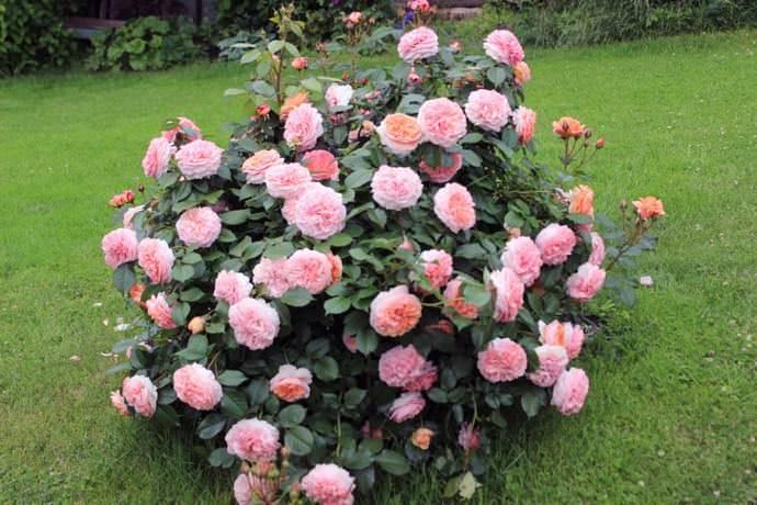 Роза чиппендейл: фото, описание и отзывы