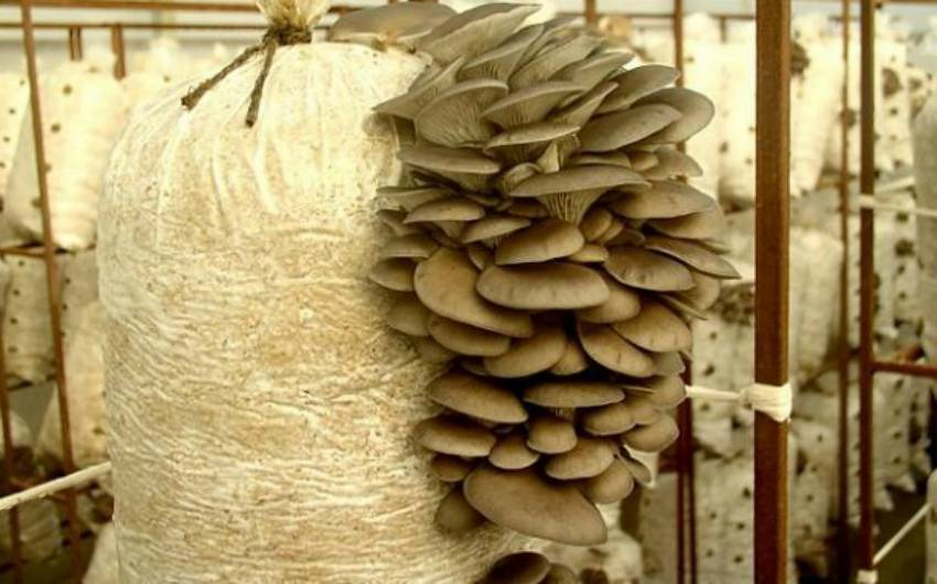 Выращивание мицелий вешенки в домашних условиях