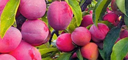 Слива генеральская: описание сорта и особенности выращивание в саду
