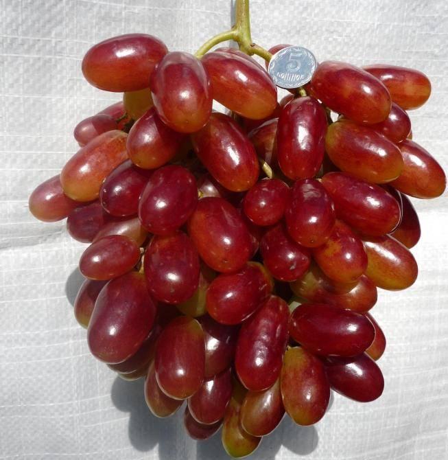 Виноград виктор: особенности сорта и 5 правил ухода