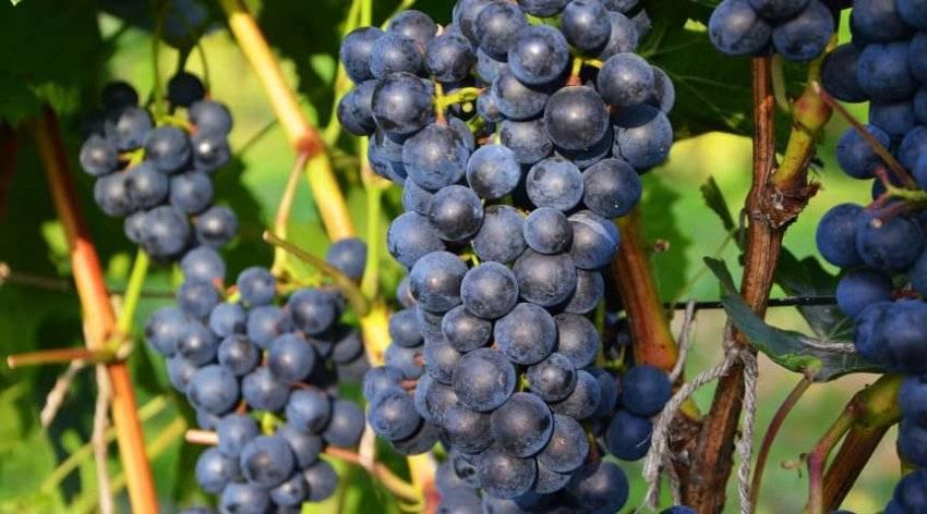 Виноград «ливадийский черный»: описание сорта, характеристики, особенности выращивания, фото и отзывы. в каких регионах выращивают, плюсы и минусы ягод