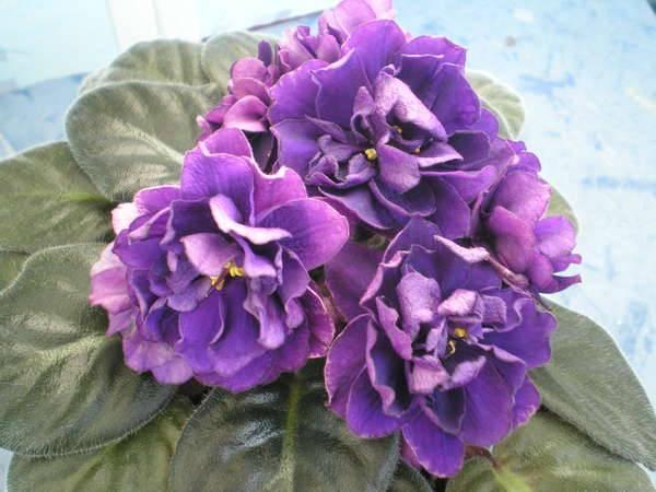 Сорт фиалки черная жемчужина my-flowery.ru - все о цветах