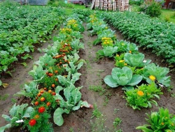 Что можно сажать рядом с помидорами в теплице и на грядке
