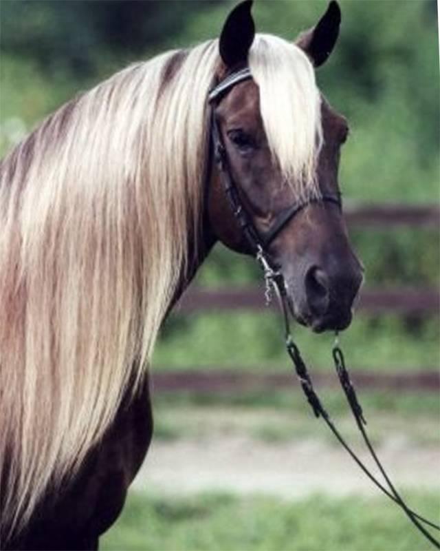 Лошадь скалистых гор: история, характеристика, фото | мои лошадки