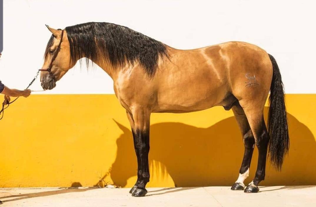 Андалузская лошадь: описание, характер, история и интересные факты