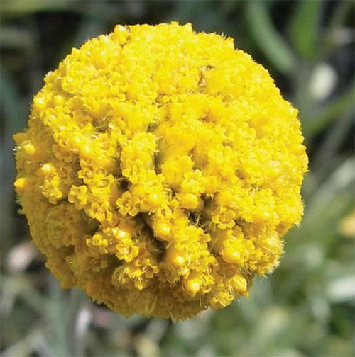 Хризантемы шаровидные выращивание и уход, фото в ландшафтном дизайне, посадка и размножение сорта в открытом грунте