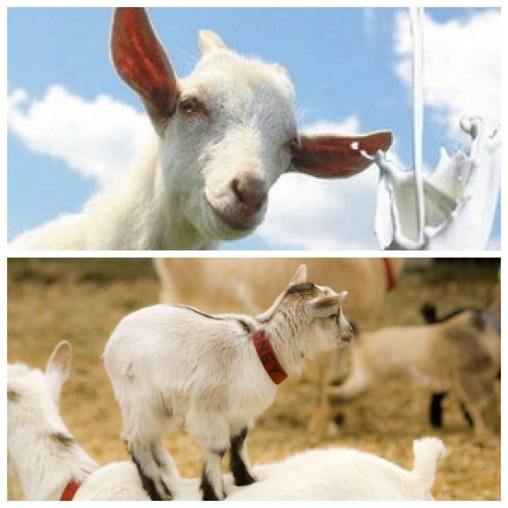 У козы после окота твердое вымя: причины и лечение.