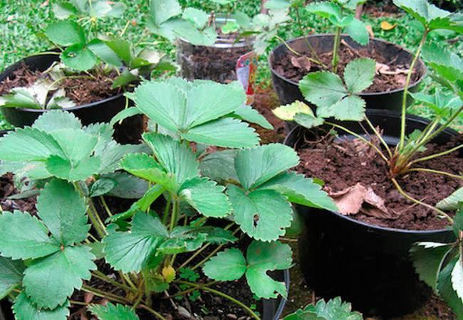 Размножение клубники семенами, делением куста и усами с фото