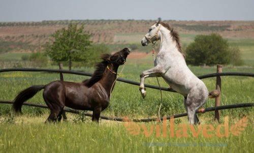 Каурые лошади: особенности масти и содержания