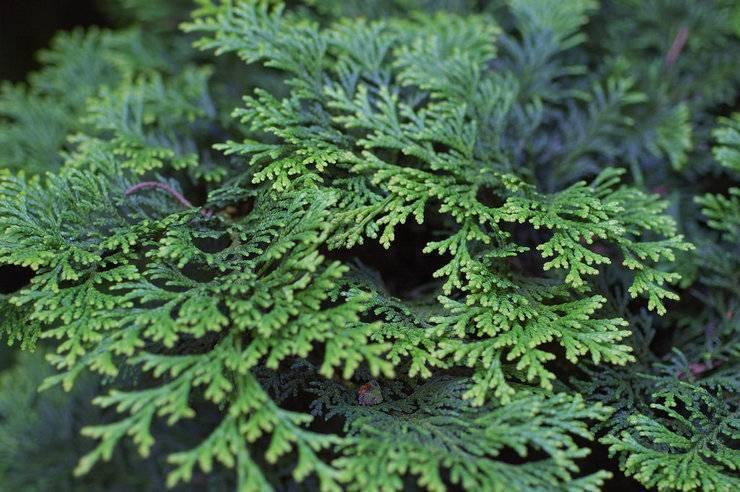 Растение кипарисовик: фото, описание видов и сортов, посадка и уход за кипарисовиком в саду