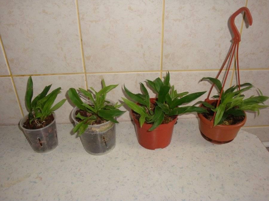 Орхидея лелия: уход в домашних условиях, условия содержания