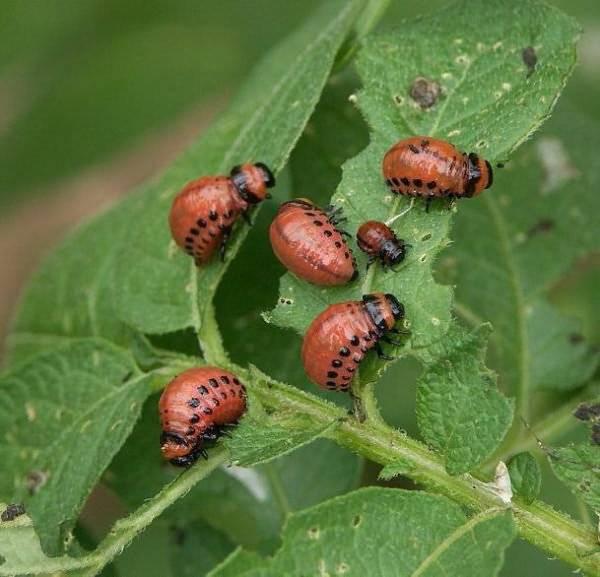 Как бороться с колорадским жуком: самые эффективные методы