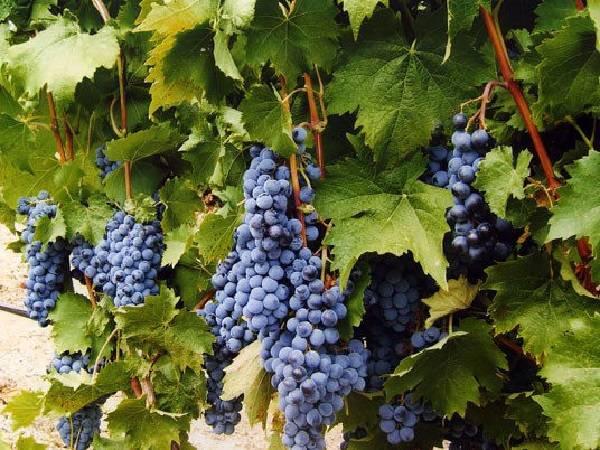 Виноград ливадийский черный: описание сорта, фото, отзывы — selok.info