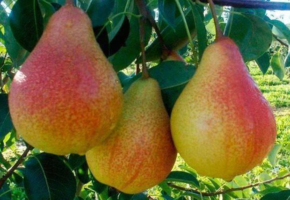 Лучшие сорта груши: самые урожайные и вкусные
