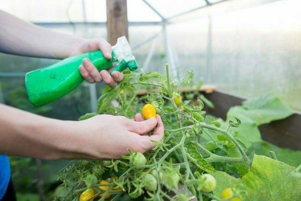 Внекорневая подкормка томатов: пошаговое описание как осуществить внекорневую подкормку своими руками (100 фото и видео)