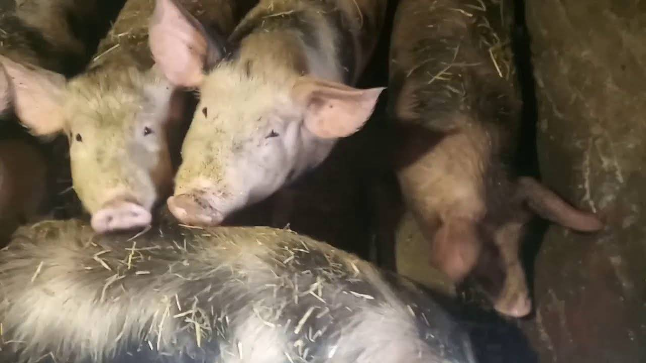 Откорм свиней | сайт зоотехников