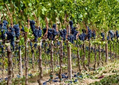 Виноград красень: описание, фото, видео и отзывы