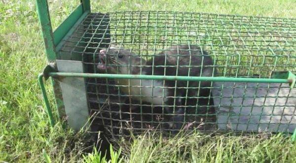 Чем опасен хорек для человека и животных, какой вред от него