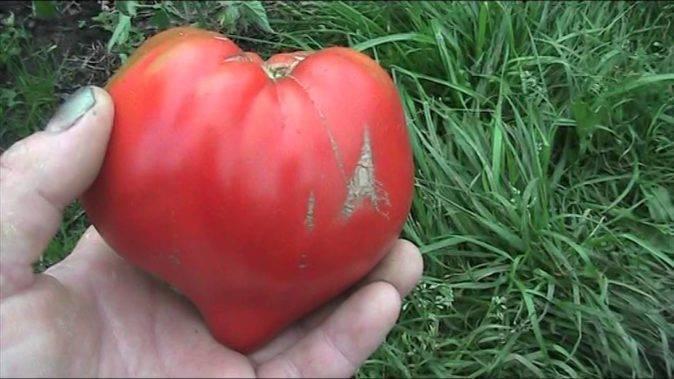 Томат чудо света: характеристика и описание среднеспелого сорта, урожайность с фото