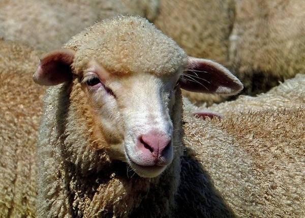 Лучшие мясные породы овец