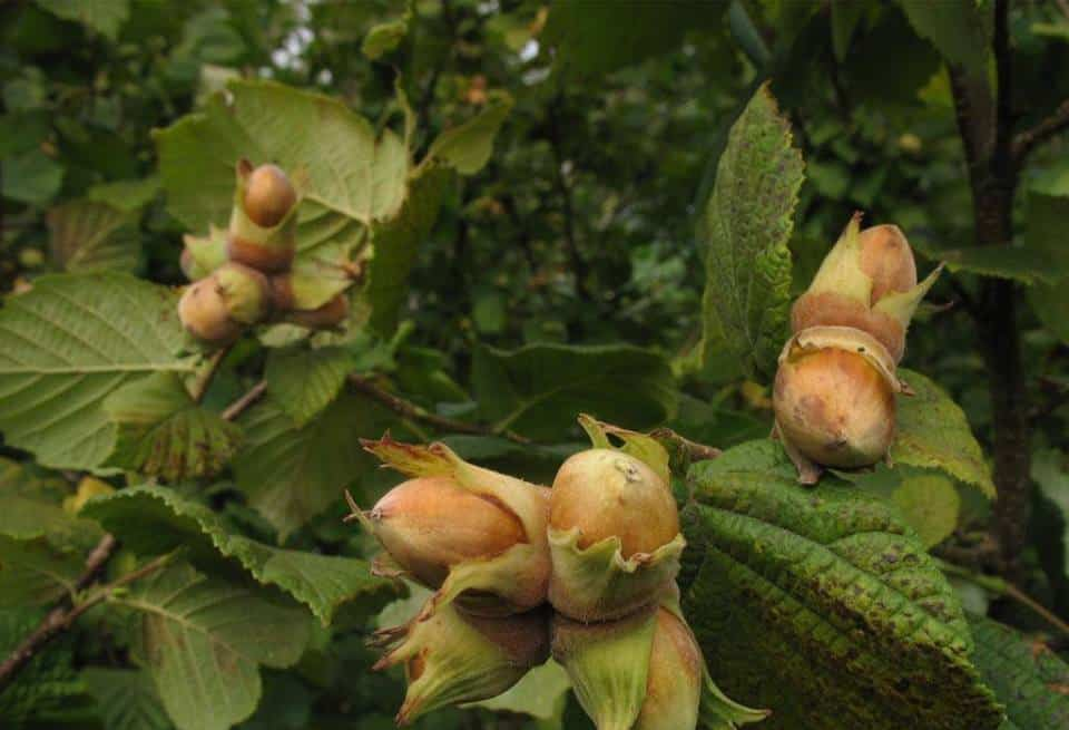 Как вырастить фундук из ореха в домашних условиях стратификация посадка