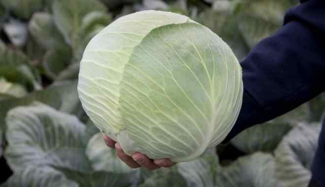 Капуста циклоп f1: описание сорта, выращивание, уход, фото - про сорта