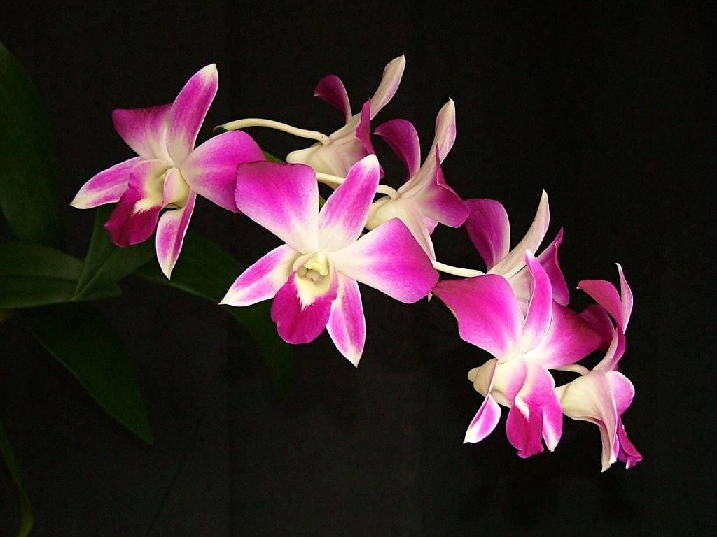 Как успешно вырастить и отделить детку орхидеи в домашних условиях