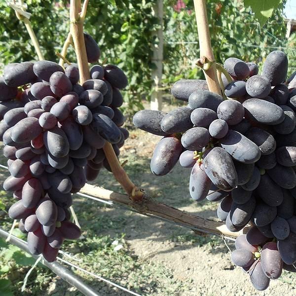 Описание сорта винограда велика