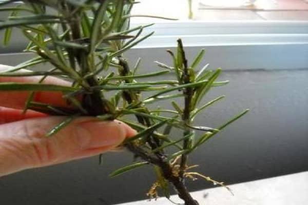 Розмарин: размножение черенками в домашних условиях, фото + видео