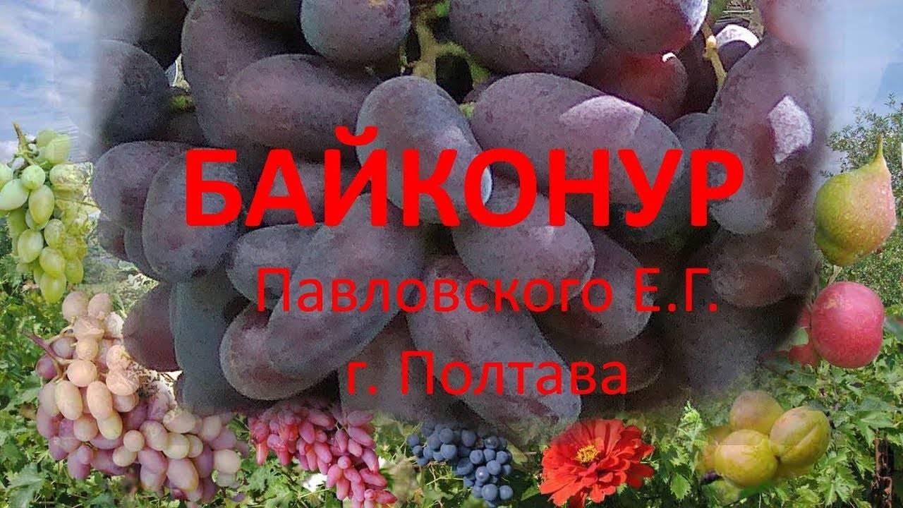 Особенности черного морозостойкого винограда байконур