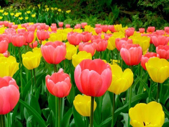 Пересадка тюльпанов с одного места на другое, до и после цветения