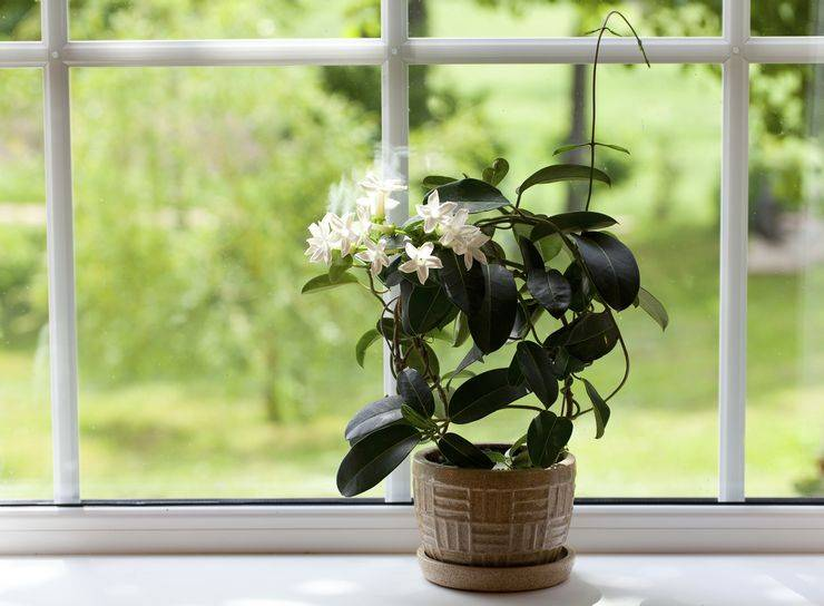 Что представляет собой цветок стефанотис (фото)? можно ли держать дома?