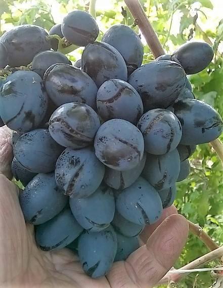 ᐉ руслан - столовая форма винограда - roza-zanoza.ru