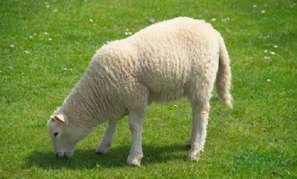 Особенности откорма баранов и овец на мясо